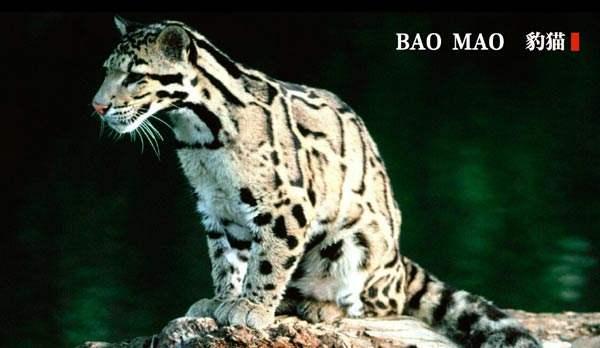 追踪并记录大型猫科动物——豹猫的出没