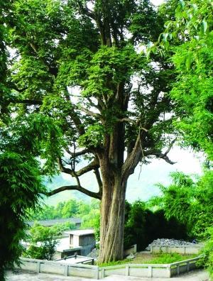 """给贵州古树寿星排座次 看看有哪些""""树神"""""""