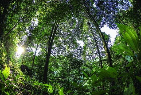 在习水县双龙乡阳坪村有一片42亩的楠木群,颇为壮观。   贵州大学林学院教授谢双喜说,习水地区楠木群落在西南地区属较大面积。一株楠木需50-60年才可成型,才能达到制作楠木家具的标准。一株巨大的楠木,并不一定里面的颜色就是烟丝黄的颜色,如同中国民间赌石一样,带着一定偶然性。正因为这样,市场上的金丝楠木家具炒到了天价。   习水地区处亚热带绿阔叶林地带,东南季风将雨水带到此地,造就气候湿润,利于楠木群落的生长。谢双喜说,这样为今后人工繁育楠木营造了有利的条件,不过因生长周期较长,难以得到利用。(记者:黄黔