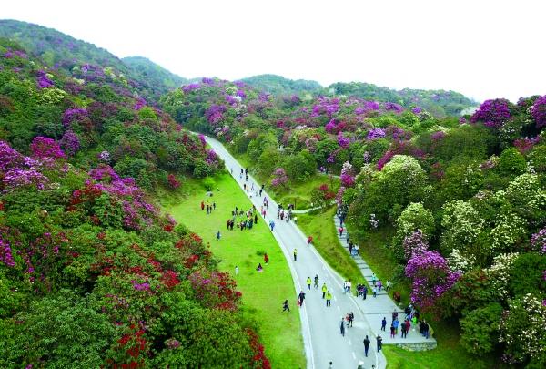 清明时节,位于毕节市百里杜鹃景区的原始杜鹃林进入盛花期,吸引游客
