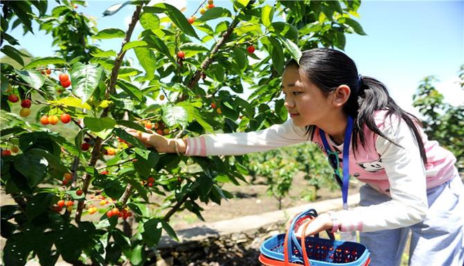 贵州六盘水:乐采樱桃