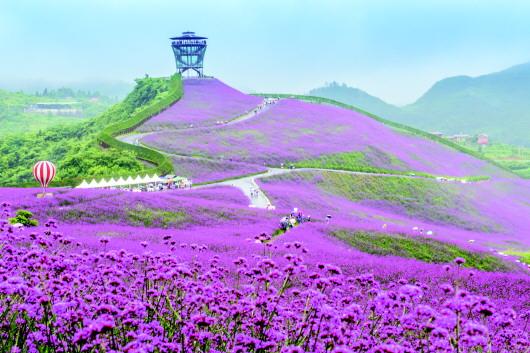 6月24日,桐梓县黔北万亩花海景区,来自重庆,四川等地的万余名游客在