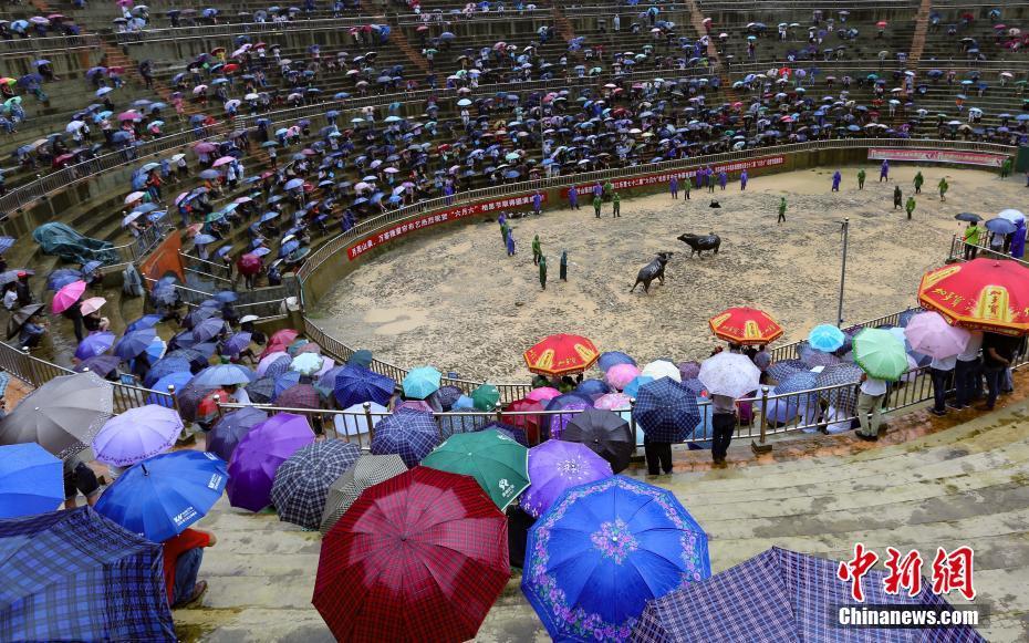 贵州榕江侗寨雨中斗牛吸引游客