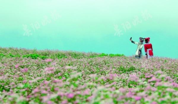 威宁自治县板底乡16万亩荞麦花开 场景粉红浪漫