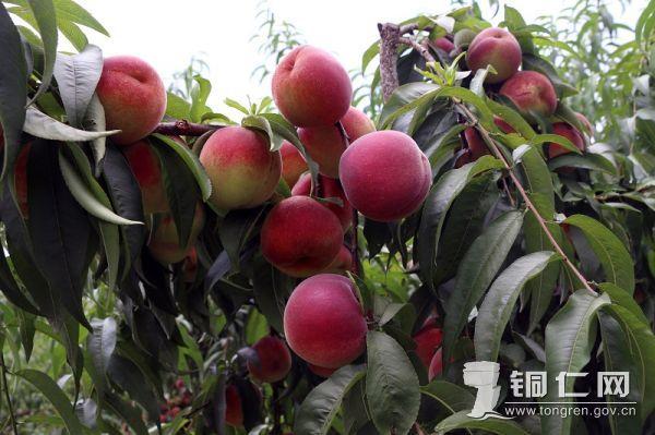 思南翁溪苹果桃丰收(县摄影协会 供稿)