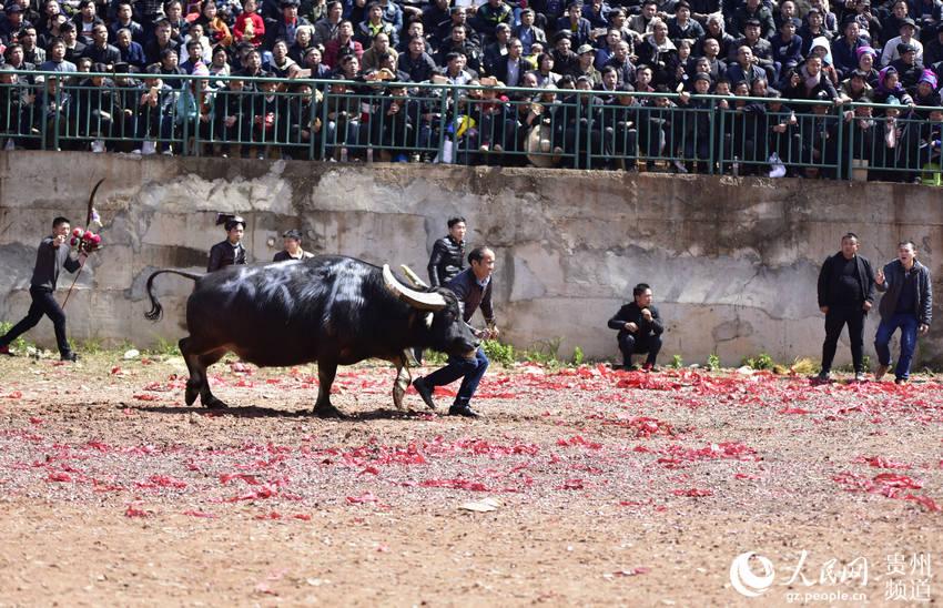贵州从江:斗牛活动迎春耕