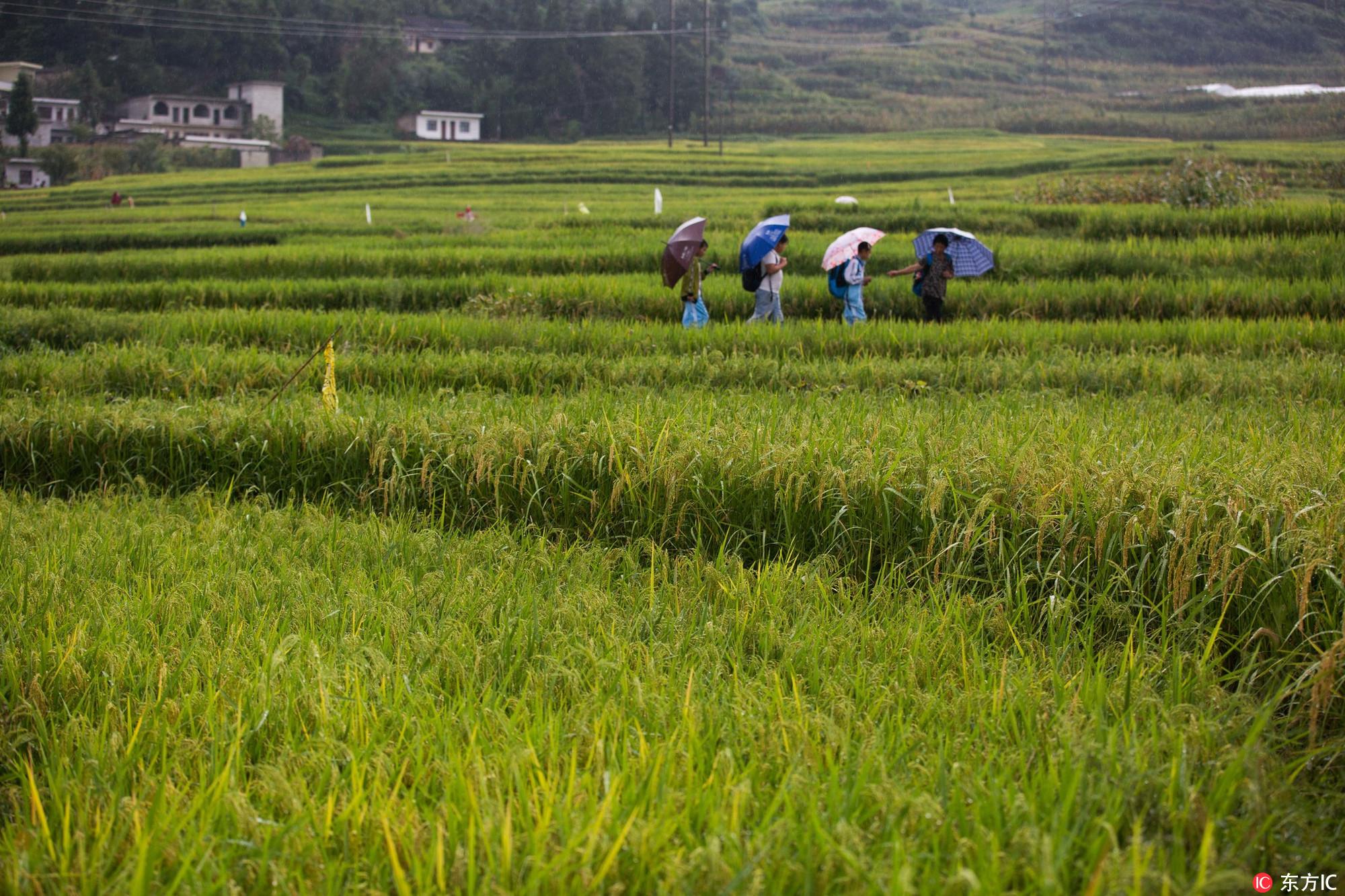 贵州省大方县小屯乡小屯梯田退绿变黄,丰收在望.