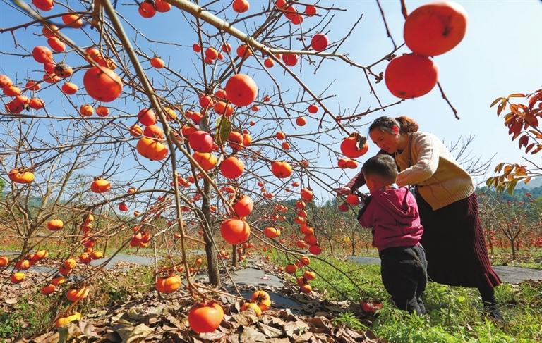 红柿俏枝头 客思满秋山