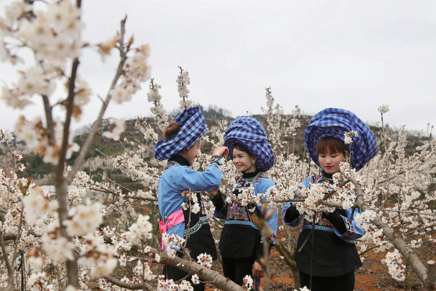 阳春三月春意浓 樱桃花儿开得美