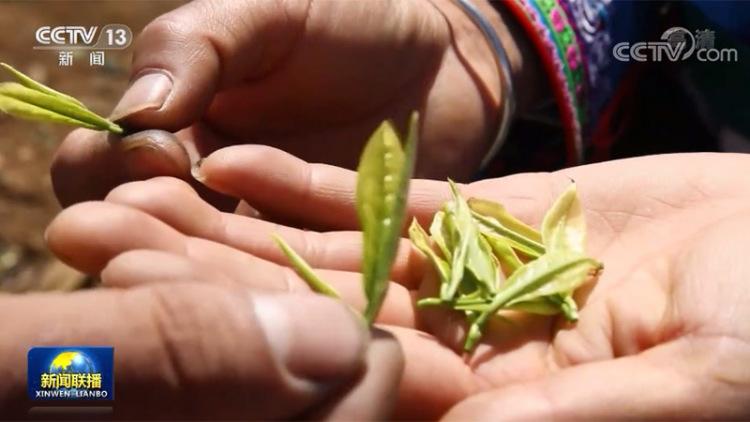 贵州普安:一叶茶造福一方人