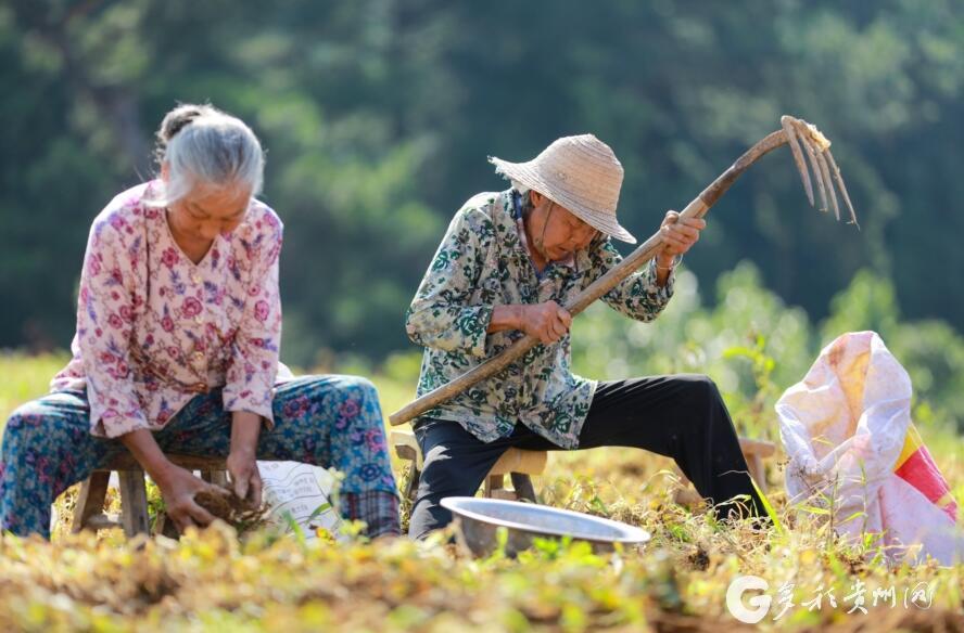 【高清组图】贵州黔西:太子参助农增收